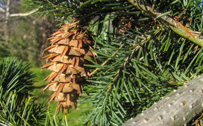 Mackenzie Basin agencies welcome new wilding pine project support